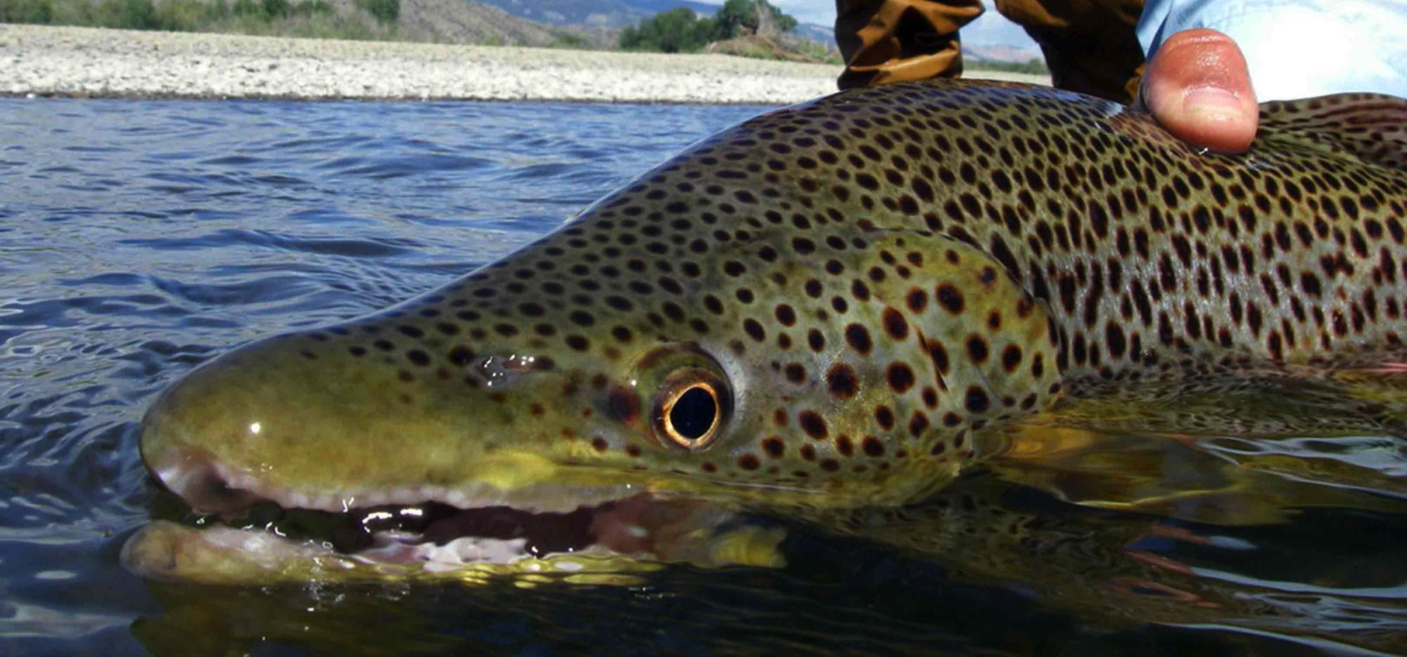 Fly fishing trips for beginners experts 406 763 4465 for Yellowstone fly fishing